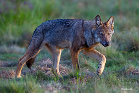 Bild: »Deutschlands wilde Wölfe«