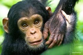 Bild: »Naturwunder Afrikas: Vulkane - Gorillas und Schimpansen.«