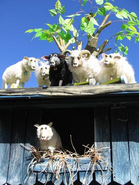 Bild: Schwarze Schafe leben besser
