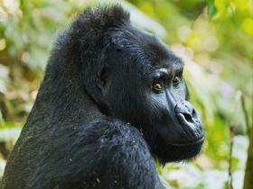 Bild: Uganda - Perle Afrikas - Heimat der Berggorillas