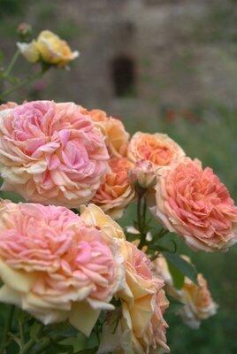 Bild: GartenAbendFührung - Sommer - Rosen - Nachtviolen
