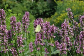 Bild: GartenSonntagsFührung - Für alles ist ein Kraut gewachsen: Heilkräuter (HarzerKlosterSonntag)