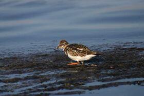 Bild: Ornithologische Führungen mit Friedemann Bartz - Vogelwelt am Meer