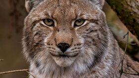Bild: Darßer NaturfilmFestival: Der Harz - Im Wald der Luchse