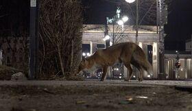 Bild: Darßer NaturfilmFestival: Stadt Land Fuchs
