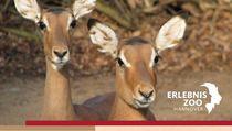 Bild: Impala - Patenschaft inkl. Tagesticket
