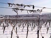 Bild: Winter-Wein-Wanderung - mit Weinhoheit