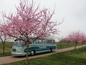 Bild: Rosa Ausblicke - mit dem Oldtimer Panoramabus