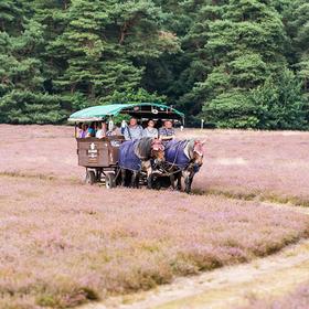 Bild: Ausflugfahrt mit dem Planwagen durch die Heide zum Mittagessen auf dem Lande - Essensfahrt