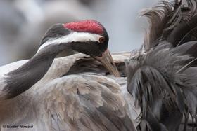Multivisionsshow: Kranichwelten – Eine Reise mit den Vögeln des Glücks durch Europa