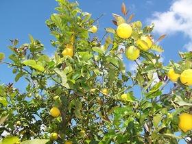 Bild: Wo die Citronen blüh´n - im Walzerschritt ums Mittelmeer