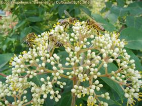 Bild: Bernhard Jaesch: Insekten brauchen Bienenpflanzen
