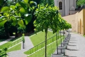 Bild: Geschichte der Citruskultur - Bildervortrag - Wie die Pomeranzen wieder in den Klostergarten kamen