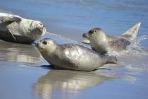 Bild: Seehundsb�nke - Ausflugsfahrt zu den Seehundsb�nken